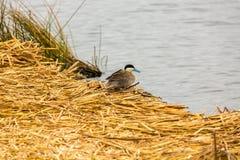 Aves marinas acuáticas en la reserva nacional del lago Titicaca, islas Peru South America de Ballestas Fotos de archivo libres de regalías