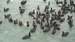 Aves marinas en un agua Nadada de los patos en un mar almacen de metraje de vídeo