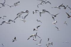 Aves marinas mezcladas que vuelan contra el cielo gris Imagenes de archivo