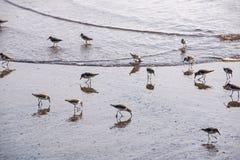 Aves marinas que vadean en la costa imagen de archivo libre de regalías