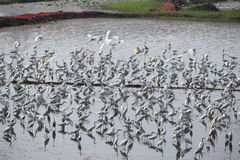 Aves migratórias Imagens de Stock