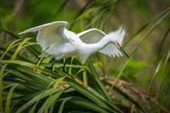 Aves migratórias do Egret nevado dos animais selvagens de Florida em St Augustine FL Imagem de Stock Royalty Free
