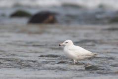 Aves migratórias, gaivota de cauda negra. Imagem de Stock