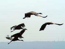 Aves migratorias sobre el lago de la naturaleza en el otoño Foto de archivo libre de regalías