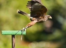 Aves rapaces Fotografía de archivo