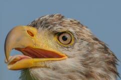 Aves rapaces - Eagle calvo - leucocephalus del Haliaeetus imágenes de archivo libres de regalías