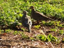 Aves tropicales aves exóticas aves libres. Aves de tórtola mientras se encuentra alimentando en el parque mirador sur en república dominicana y el stock photography