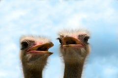Avestruces Imagen de archivo