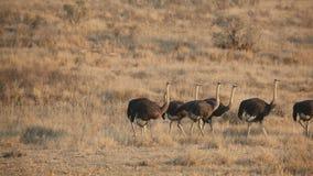 avestruces metrajes