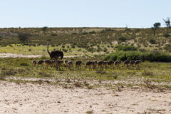 avestruces Imagen de archivo libre de regalías
