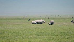 Avestruces blancas africanas salvajes Graze On Plains Of Savannah de las cebras de los búfalos de los rinocerontes almacen de video