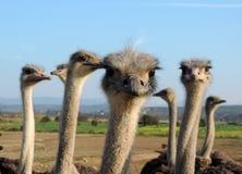 Avestruces curiosas que miran en el cierre de la cámara para arriba Foto de archivo libre de regalías