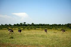 Avestruces de Maasai, Maasai Mara Game Reserve, Kenia Imagen de archivo