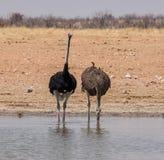 Avestruces en el agujero de riego de A Fotos de archivo