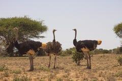 Avestruces en el desierto fotos de archivo libres de regalías