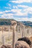 Avestruces en el prado de la granja Imagenes de archivo