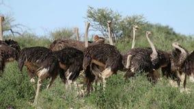 Avestruces en hábitat natural metrajes
