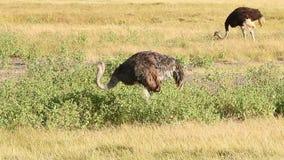 Avestruces, parque de Amboseli, Kenia almacen de metraje de vídeo