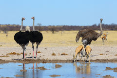 Avestruces y sprinbok en el waterhole Foto de archivo libre de regalías