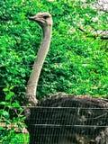 Avestruz Fotografía de archivo libre de regalías