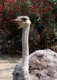 Avestruz Imagen de archivo libre de regalías