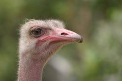 Avestruz #2 Fotografía de archivo