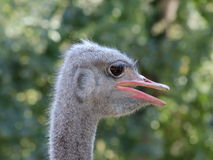 Avestruz Foto de Stock Royalty Free