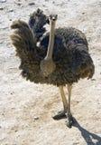 avestruz Imagenes de archivo