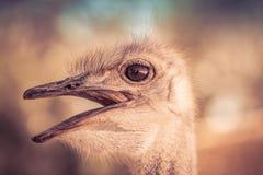 A avestruz Imagens de Stock