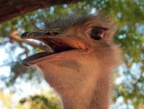 Avestruz Foto de archivo libre de regalías