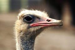 Avestruz Fotografia de Stock