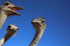 Avestruz Fotografía de archivo