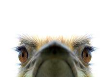 Avestruz Imagem de Stock Royalty Free