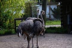 A avestruz Foto de Stock