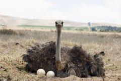 Avestruz adulta em ovos Imagem de Stock