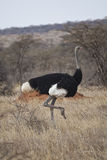 Avestruz africana Fotografia de Stock Royalty Free