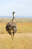 Avestruz africana (camelus del Struthio) Imagen de archivo