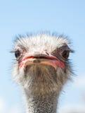 Avestruz africana curiosa Foto de archivo libre de regalías