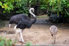 Avestruz africana ou camelus comum do Struthio da avestruz foto de stock royalty free