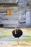 Avestruz africana que camina en el prado Imágenes de archivo libres de regalías