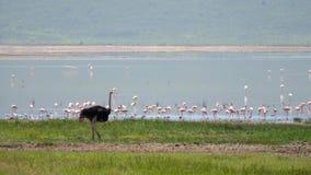 Avestruz africana salvaje en el lago en cuál camina muchos flamencos rosados almacen de metraje de vídeo