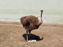 A avestruz assentará bem na mamã no jardim zoológico Fotos de Stock Royalty Free