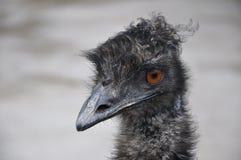"""Avestruz """"EMU"""" Imágenes de archivo libres de regalías"""