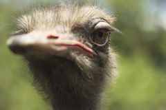 Avestruz. The beautiful and proud ostrich at the zoo Stock Photos