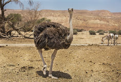 Avestruz bonita no deserto Fotos de Stock