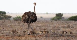 Avestruz, camelus del struthio, hembra y polluelos caminando a través de la sabana, parque nacional de Nairobi en Kenia, metrajes