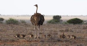 Avestruz, camelus del struthio, hembra y polluelos caminando a través de la sabana, parque nacional de Nairobi en Kenia, almacen de metraje de vídeo