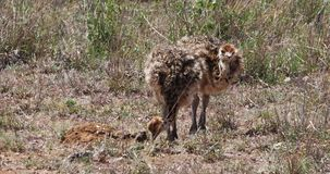 Avestruz, camelus del struthio, polluelos que caminan a través de la sabana, parque nacional de Nairobi en Kenia, metrajes