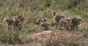 Avestruz, camelus del struthio, polluelos que caminan a través de la sabana, parque nacional de Nairobi en Kenia, almacen de metraje de vídeo