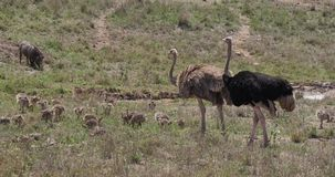 Avestruz, camelus del struthio, varón, hembra y polluelos caminando a través de la sabana, parque nacional de Nairobi en Kenia, almacen de video